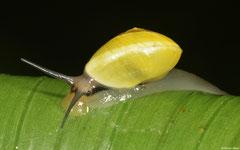 Helicina platychila (Mamelle de Pigeon, Guadeloupe)