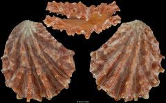 Plicatula plicata (Thailand, 39,7mm)