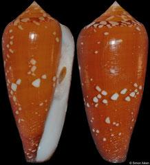 Conus crocatus (Philippines, 61,9mm)
