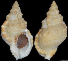 Bursa ranelloides (Philippines, 56,0mm)