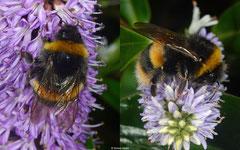 Bumblebee (Bombus sp.), York, UK