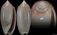 Oliva edwardsae (Florida, USA, 39,2mm)