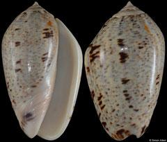 Oliva incrassata (Pacific Mexico, 59,1mm)