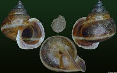 Boucardicus cf. albocinctus (Madagascar, 9,1mm)