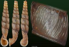 Indonenia sp. nov. (Myanmar, 22,6mm) (paratype)