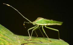 Rice bug (Leptocorisa sp.), Dipolog, Philippines