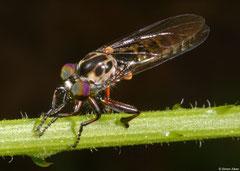 Robber fly (Neoitamus sp.), Fianarantsoa, Madagascar