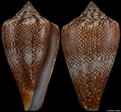 Conus delanoyae (Cape Verde, 25,0mm) F++ €10.00