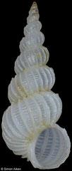 Epitonium harpago (Philippines, 5,4mm)