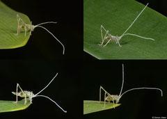 Katydid (Tettigoniidae sp.) nymph, Fianarantsoa, Madagascar