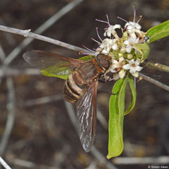 Bee-fly (Exoprosopa sp.), Salary, Madagascar