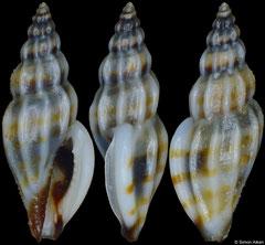 Citharomangelia richardi (Philippines, 7,3mm)