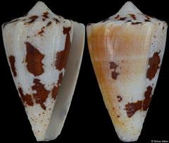 Conus regius (Brazil, 35,0mm) F+/F++ €12.00