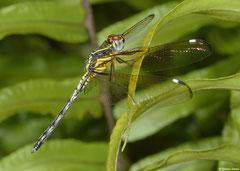 Broad skimmer (Orthetrum azureum), Sahafina, Madagascar