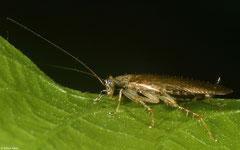 Wood cockroach (Ectobiidae sp.), Lajas de Yaroa, Loma del Puerto, Dominican Republic