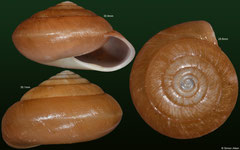 Pachystyla weinkauffiana (Cambodia) F+++ €14.00 (specimens for sale are 29-32mm and are of the same quality as the specimens illustrated)