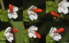 Firebug (Pyrrhocoris apterus) nymph, La Cumbre, Dominican Republic