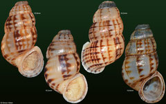 Chondropoma marmoreum (Dominican Republic) F++ (specimens for sale are 18-20mm and are of the same quality as the specimen illustrated)