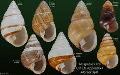 Achatinella spp. (Hawaii)