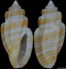 Eucithara sp. (Philippines, 4,7mm)
