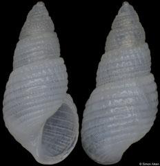 Chrysallida evermanni (Pacific Mexico, 3,3mm) F+++ €5.00