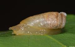 Succinea tenella (N of Kampong Trach, Cambodia)