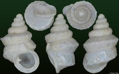 Diplommatina aurisdiaboli (Indonesia, 3,6mm) (paratype)