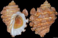 Neorapana grandis (Galápagos Islands, 49,1mm)