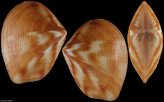 Eucrassatella japonica (Japan, 26,5mm)