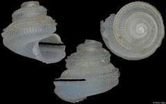 Anatoma munieri (Philippines, 1,8mm)