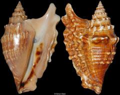 Tricornis oldi (Somalia, 131mm)