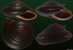 Pleurodonte insititia (Dominican Republic)