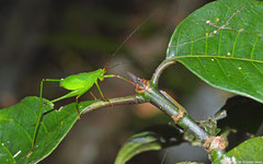 Katydid (Phaneropterinae sp.) nymph, Andasibe, Madagascar