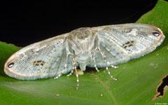 Grass moth (Crambidae sp.), Angkor Chey, Cambodia