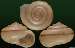 Helminthoglypta allyniana (Dominican Republic, 15,7mm) F++ €14