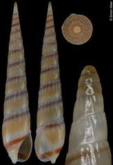 Hastula cuspidata (Angola, 28,7mm)