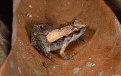 Ornate narrowmouth frog (Microhyla fissipes), Ban Phondou, Khammouane Province, Laos