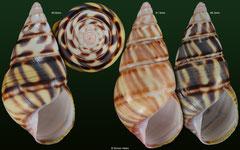 Liguus fasciatus form 'sanctamariae' (Cuba) F+/F++ €13.00