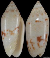 Oliva chrysoplecta (Philippines, 20,1mm)