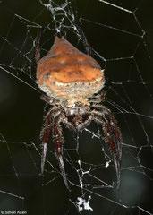 Bark spider (Caerostris extrusa), Mantadia, Madagascar