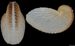 Argonauta nouryi (Pacific Mexico, 43,8mm)