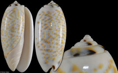 Oliva tricolor colour form 'philantha' (Philippines, 53,2mm)