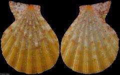 Semipallium dianae (Amami Islands, 31,2mm)