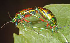 Jewel bugs (Scutelleridae sp.), Olango Island, Philippines