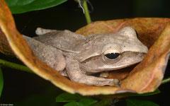 Common tree frog (Polypedates leucomystax), Phang Nga, Thailand