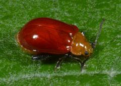 Leaf beetle (Bladhaantje sp.), Fianarantsoa, Madagascar