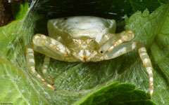 Crab spider (Thomisidae sp.), Balut Island, Philippines