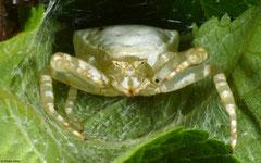 Crab spider (Thomisidae sp.), Balut Island, Philippines