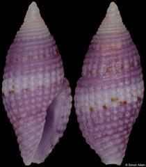 Mitromorpha purpurata (Philippines, 5,3mm)