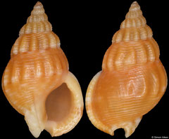 Nassarius filmerae (South Africa, 10,2mm) F++ €1.60 (specimens for sale are 10-11mm and are of the same quality as the specimen illustrated)
